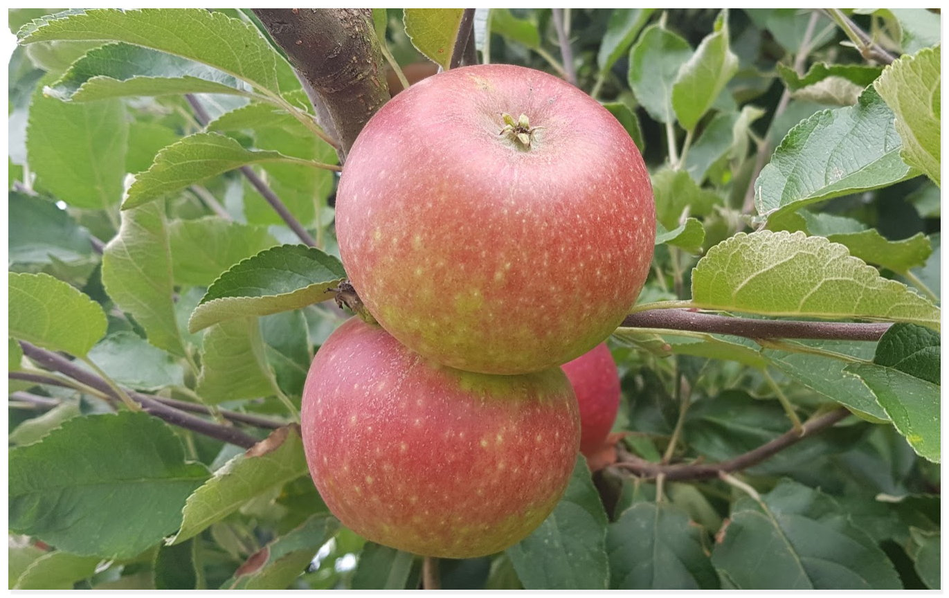 Apfel Apfelbaum Andy